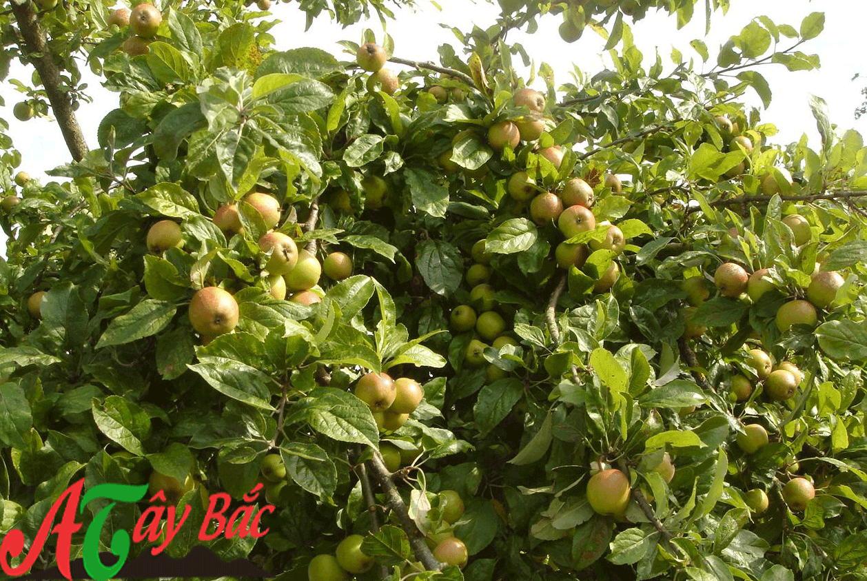 Mô tả, hình ảnh cây và quả táo mèo